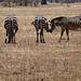 Ein Zebra kommt selten allein