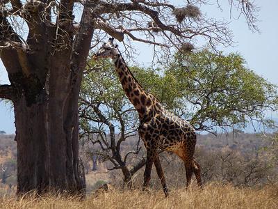 Die Giraffe hingegen durchaus