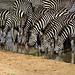 Die Zebras sind gerne in Gemeinschaft und nutzen dabei instinktiv auch das Streifenwirrwarr um nicht als Einzelbeute dazustehen