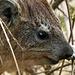 Der Klippschliefer lebt in Kolonien von bis zu 50 Tieren. Er ist Vegetarier und isst nur eine Stunde am Tag, was für einen Pflanzenfresser sehr wenig ist.