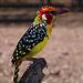 Ein Flammenkopf-Bartvogel. Er gehört zu den Spechten