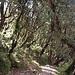 Rhododendron-Wald zwischen Landrung und Tadopani (auf gut 3000 m)